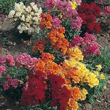 Antirrhinum nanum Double Sweetheart en mélange F1 Photo