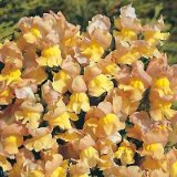 Antirrhinum nanum 'Peaches & Cream' Photo