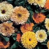 Calendula officinalis Art Shades Varié Photo