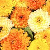 Calendula officinalis Fiesta Gitana Varié Photo