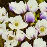 Anemone rivularis Photo