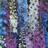 Delphinium 'Pacific Giants' Varié Photo