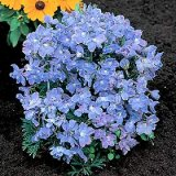 Delphinium grandiflorum 'Summer Blues' Photo