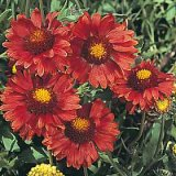 Gaillardia grandiflora 'Burgundy' Photo
