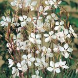 Gaura lindheimeri Photo