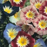 Convolvulus tricolor 'Ensign Series Mixed' Photo