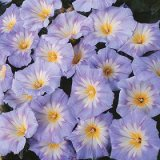 Convolvulus tricolor 'Light Blue Flash' Photo