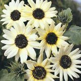 Helianthus annuus 'Italian White' Photo