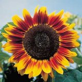 Helianthus annuus 'Solar Eclipse' Hybride F1 Photo