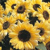 Helianthus annuus 'Valentine' Photo