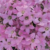 Campanule dwarf Pink Photo