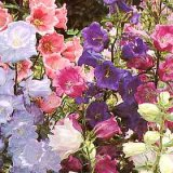 Campanule medium Canterbury Bells Varié Photo
