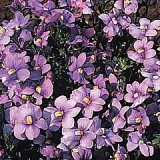 Nemesia caerulea Photo