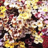 Nemesia strumosa 'Carnival Mixed' Photo