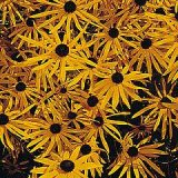 Rudbeckia fulgida 'Goldsturm' Photo