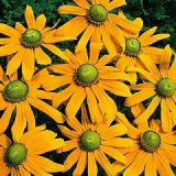 Rudbeckia hirta 'Green Eyes' Photo