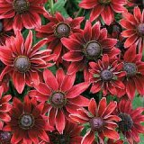 Rudbeckia x hirta 'Cherry Brandy' Photo