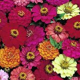 Zinnia elegans 'Pulcino' Mixed Photo