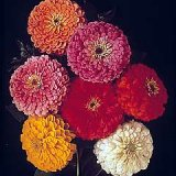 Zinnia elegans 'Giant' double Mixed Photo