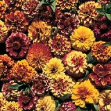 Zinnia haageana 'Aztec Sunset' Photo