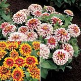 Zinnia elegans 'Swizzle' Duo Photo