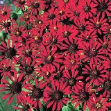 Zinnia tenuifolia 'Red Spider' Photo