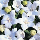 Platycodon grandiflora Fuji White Photo
