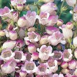 Penstemon x hybrida Lilac Frost Photo