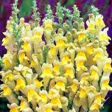Antirrhinum braun-blanquetii Photo