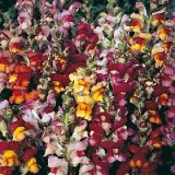 Antirrhinum majus Brazilian Carnival Photo